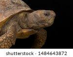 Stock photo gopher tortoise gopherus polyphemus is endemic to the united states 1484643872
