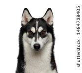 Portrait Of Siberian Husky Dog...