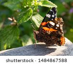 Red Admiral Butterfly Macro...
