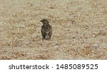 A Little Sparrow Jumps On The...