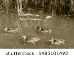 A Flock Of Ducks On A Bright...
