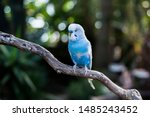 Blue parakeet resting on a...