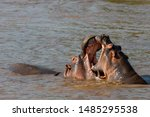 Two hippos playing with each other in the river in Maasai Mara, Kenya, Africa.