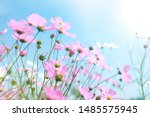 Stock photo cosmos flowers garden in spring season with light sweet japanese style 1485575945