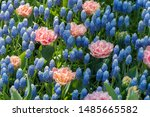 A Field Of Grape Hyacinth And...