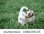 Stock photo cute australian shepherd puppy and white kitten playing together 1486104125