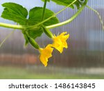 Cucumber Plant  In The Garden....