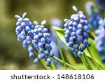 Image Of Garden Grape Hyacinth...