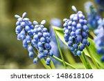 Image Of Garden Grape Hyacinth...