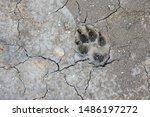 Coyote Paw Print Making Tracks...