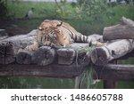 Royal Bengal Tiger   Tiger Male ...
