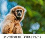 The lar gibbon (Hylobates lar) close-up photos