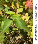 Small photo of Poison ivy with its telltale sign of three leaves.