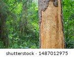 Spruce Pine Tree Bark Beetle...