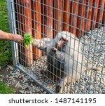 Man Feeding An Adult Baboon...