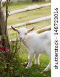 A White Baby Goat Against Grass