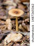 Small photo of Tawny Grisette mushroom(Amanita fulva)in the forest