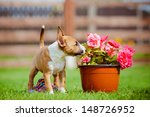 Red Miniature Bull Terrier...