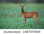 Alert Roe Deer  Capreolus...