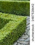 buxus sempervirens  box clipped ...