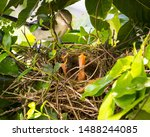 Mockingbird Mother Giving...