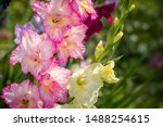 Gladiolus  Sword Lily  Pink And ...
