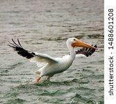 American White Pelican Taking...