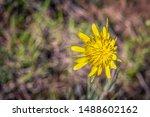 Yellow Salsify Flower In Bloom