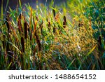 Small photo of Reed Mace Bulrushes at dawn in Combe Valley. East Sussex, England