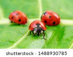 Three ladybugs on the green...