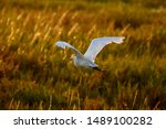 Snowy Egret In Flight Over The...