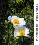 Image Of Romneya Coulteri  The ...