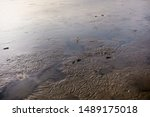 Mudskipper. Amphibious Fish...
