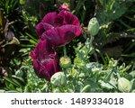 Beautiful Dark Pink Poppies...
