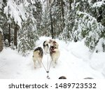 Canada  Quebec  Dog Sledding...