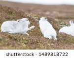 Stock photo white mountain hare lepus timidus in scottish highland these hare change their fur colour white 1489818722