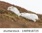 Stock photo white mountain hare lepus timidus in scottish highland these hare change their fur colour white 1489818725