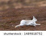 Stock photo white mountain hare lepus timidus in scottish highland these hare change their fur colour white 1489818752