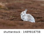 Stock photo white mountain hare lepus timidus in scottish highland these hare change their fur colour white 1489818758