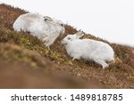 Stock photo white mountain hare lepus timidus in scottish highland these hare change their fur colour white 1489818785