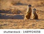 Two Meerkats  Suricata...