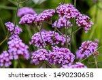 Verbena Bonariensis Flowers ...
