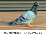 City Pigeon With One Missing...