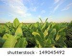 Small photo of Tobacco plantation in Poland