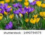 Field Of Flowering Crocus...