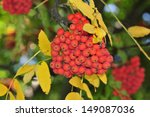 Mountain Ash. Rowan Tree. The...
