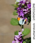 Orange Tip Butterfly Feeding O...