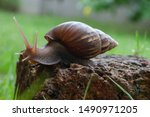 Stock photo snail is walking on the red stone 1490971205