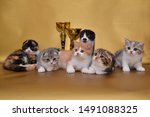 Stock photo six scottish fold kittens different colors 1491088325