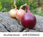 three ripe organic onion bulbs...